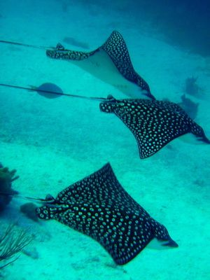 Elegant Eagle Rays At Coral Gardens On Grace Bay, Providenciales, Turks And Caicos  Islands