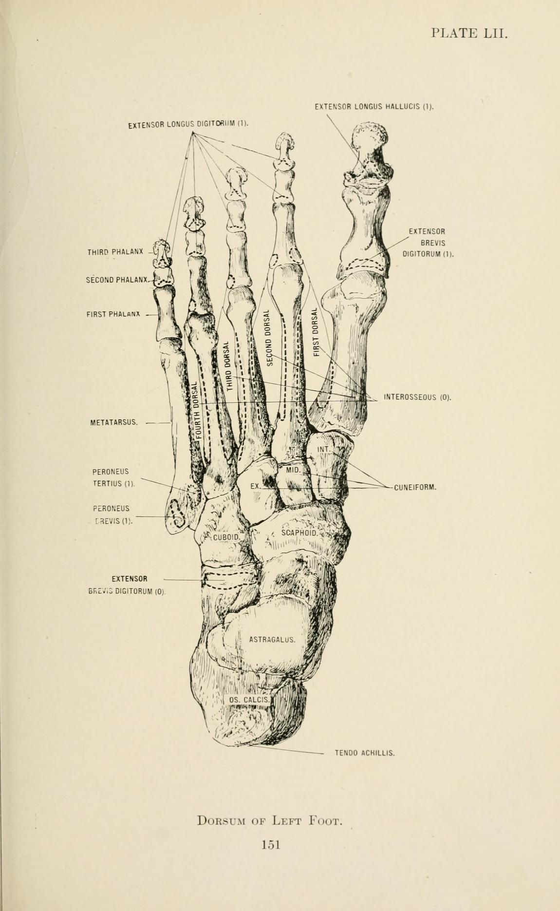 Anatomy In A Nutshell 1905 Bones Of The Left Foot Labeled