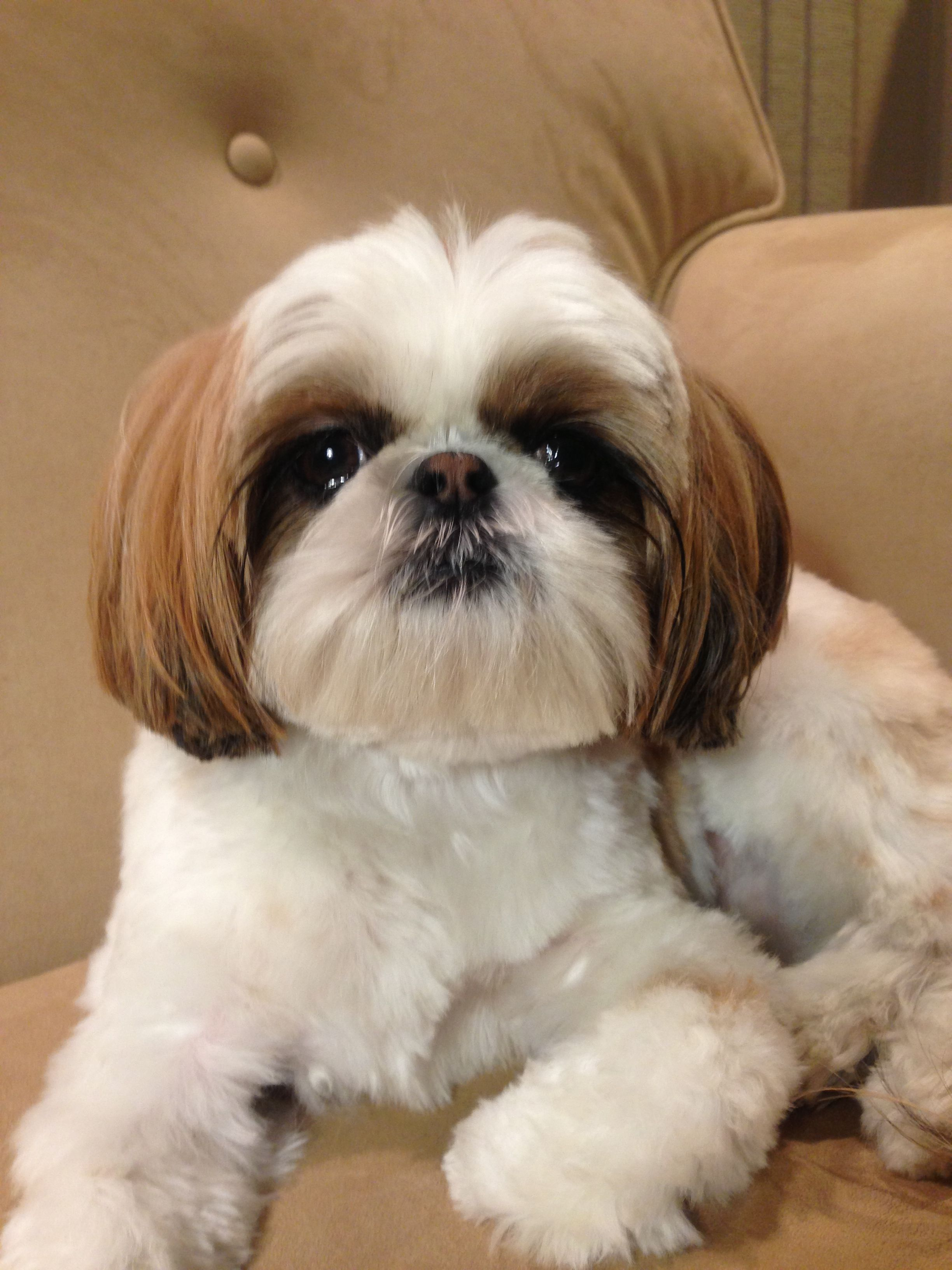 Shih Tzu Puppies, « Puppies for sale Dogs for sale
