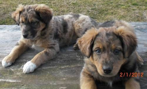 Aussie Lab Mix Pups Australian Cattle Dog Mix Dog Friends