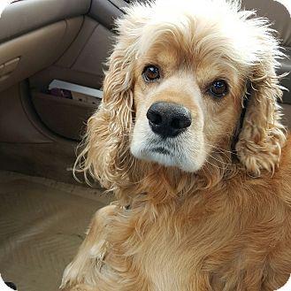 Alpharetta Ga Cocker Spaniel Meet Jackson A Dog For Adoption Dog Adoption Cocker Spaniel Pets