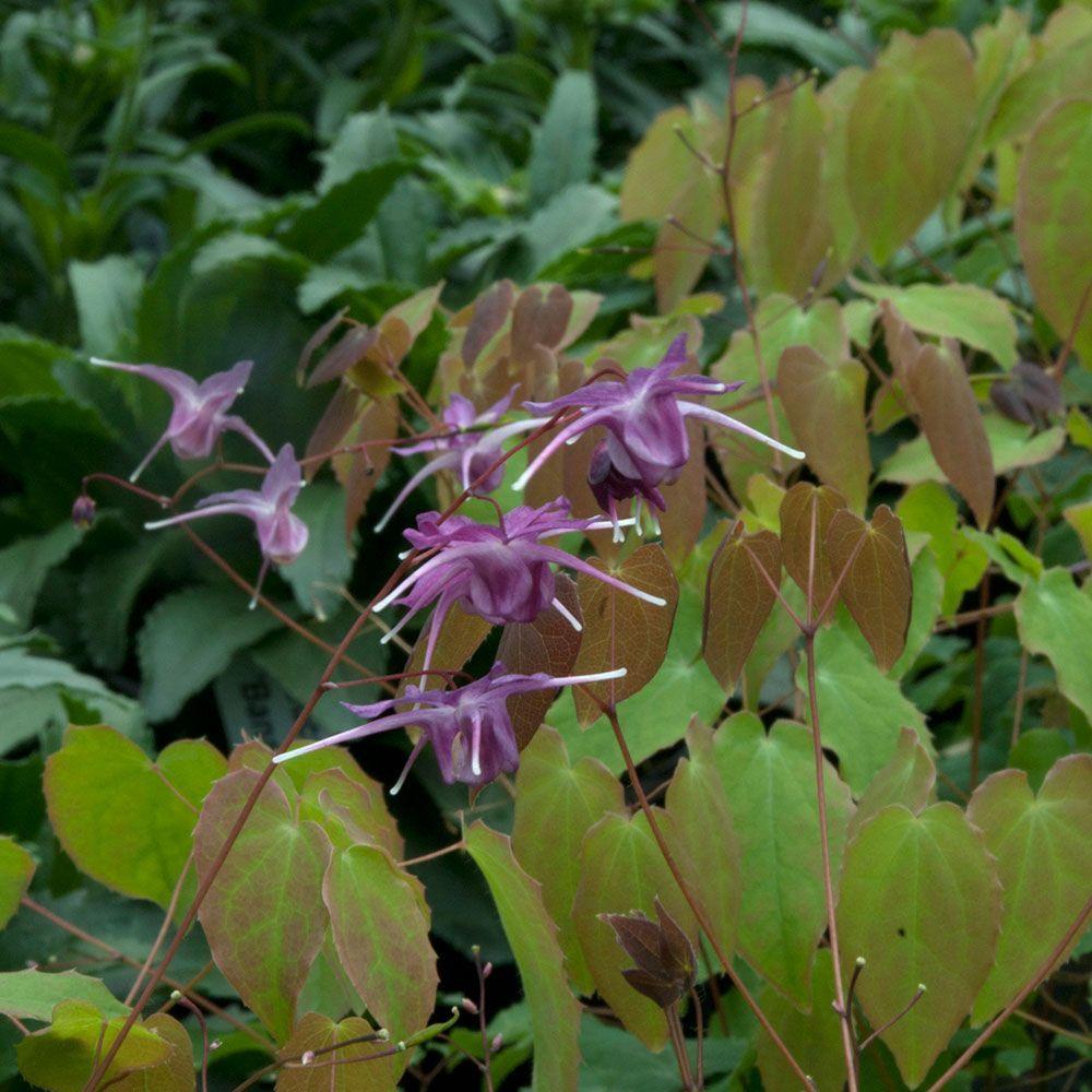 Epimedium grandiflorum lilafee white flower farm white