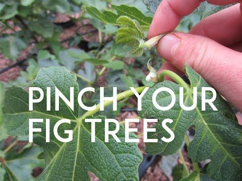 Growing Edible Figs In Containers Learn Which Varieties