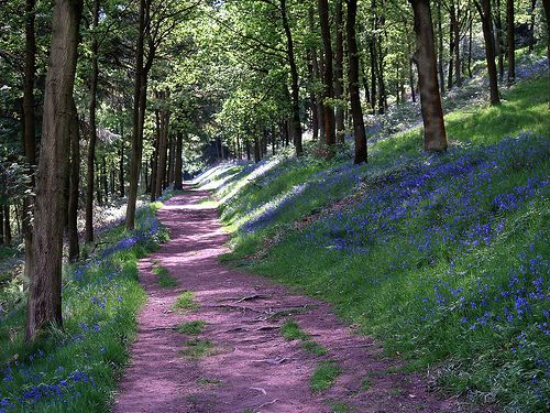 A Walk with the Bluebells
