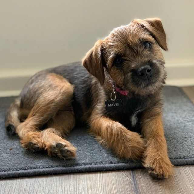 14 Interesting Facts About Border Terriers In 2020 Border