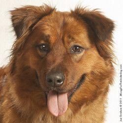 Irish Setter Australian Shepherd Mix Irish Setter Mix Dogs
