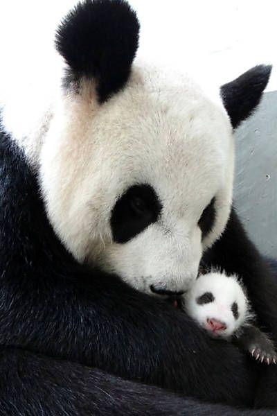 Foto divulgada nesta terça-feira (13) mostra a panda Yuan Yuan abraçando seu bebê no zoológico em Taipé (Taiwan). Veja mais imagens do dia:http://bit.ly/16fUD5bFoto: AFP
