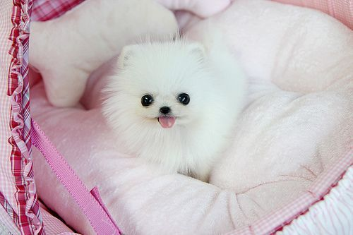 Sweet darling teacup pomeranian puppy #teacuppomeranianpuppy Sweet darling teacup pomeranian puppy | tiny precious teacup… | Flickr #teacuppomeranianpuppy