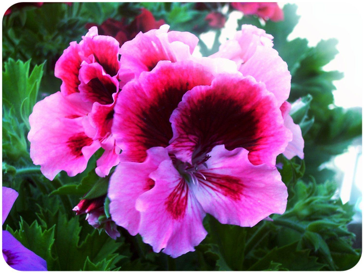 Rose Da Taglio Rifiorenti il significato dei #fiori il #geranio nel linguaggio dei