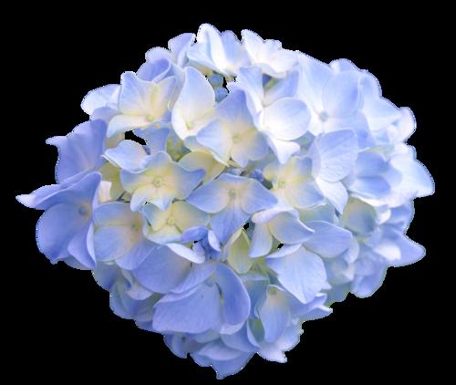 Transparent Flowers Light Blue Hydrangea X Transparent Flowers Light Blue Flowers Hydrangea