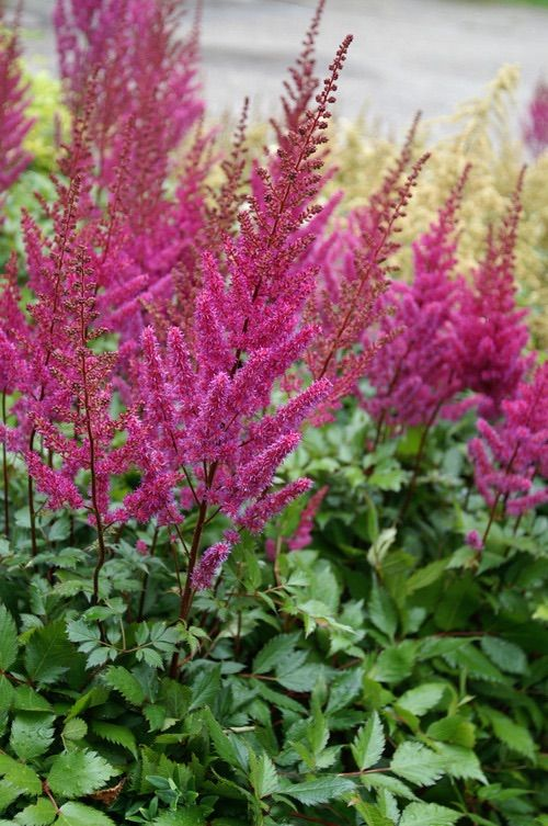 Astilbe Pink Available July And August August Flowers Astilbe Grow Gorgeous
