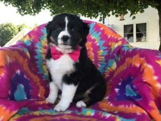 Australian Shepherd Puppy For Sale In Quarryville Pa Adn 32451