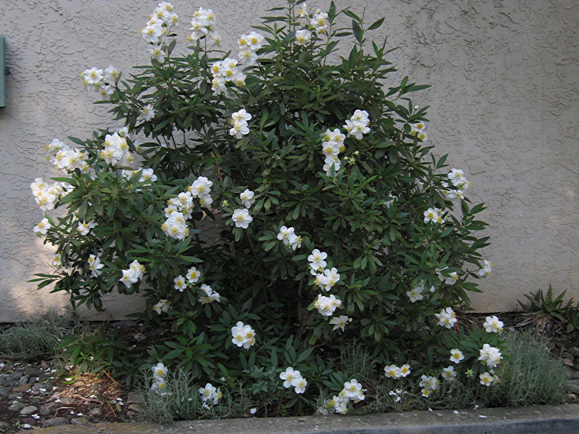 Tavolone Carpenteria ~ Back carpenteria californica carpenteria drabble garden