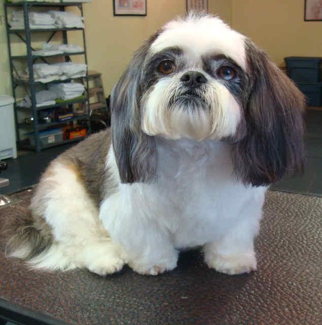 Most Of Our Shih Tzus Are Kept In Short Coats Anywhere