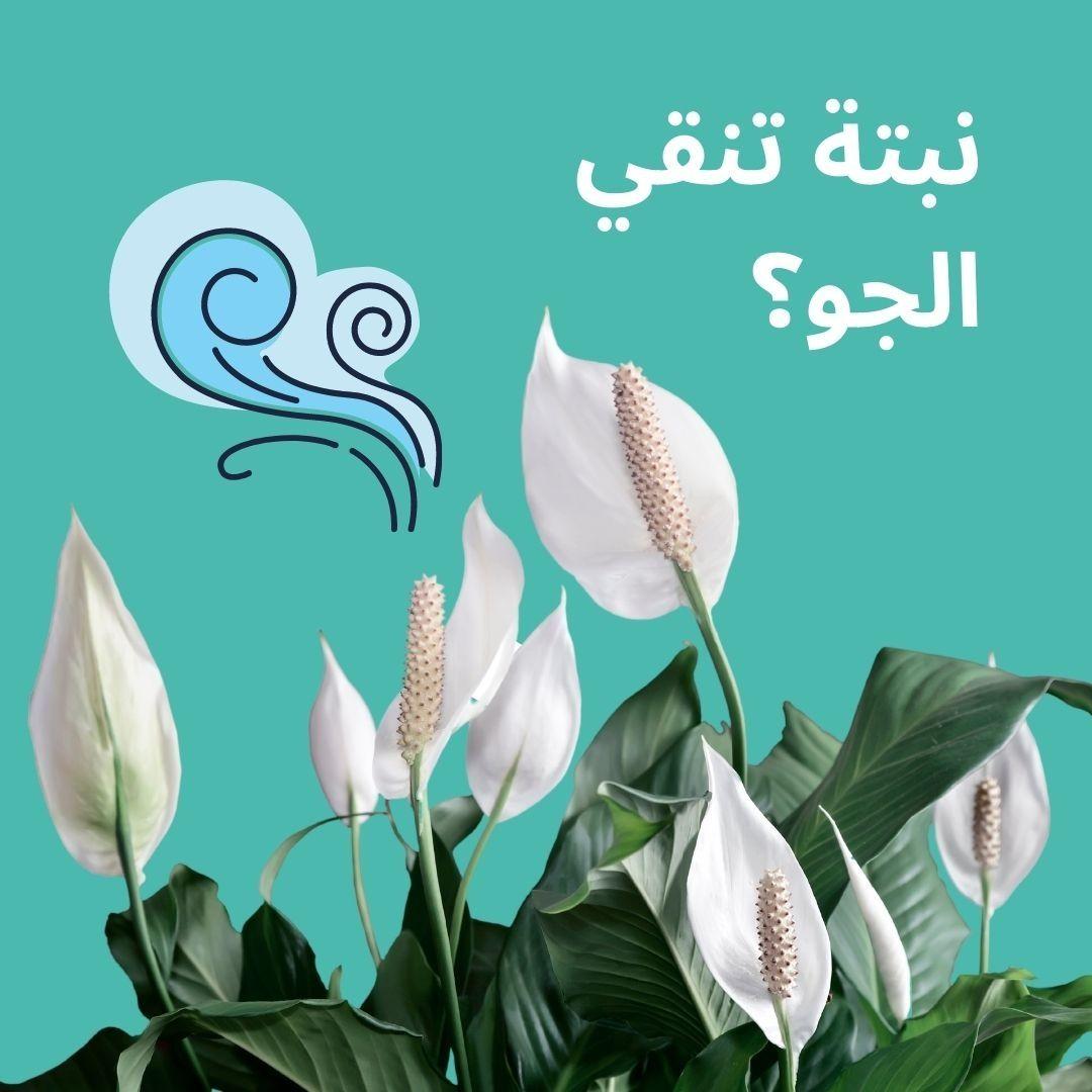 أهمية النباتات في حياتنا اليومية من النباتات الجميلة واللطيفة التي يمكن وضعها في المنزل نبتة زنبق السلام ص نف نبات زنبق السلام عل Plant Leaves Plants Leaves