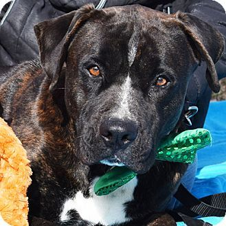 Huntley, IL Boxer/American Staffordshire Terrier Mix