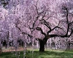 I Love Weeping Cherry Trees And Weeping Willows Beautiful Weeping Cherry Tree Yoshino Cherry Tree Cherry Tree Tattoos