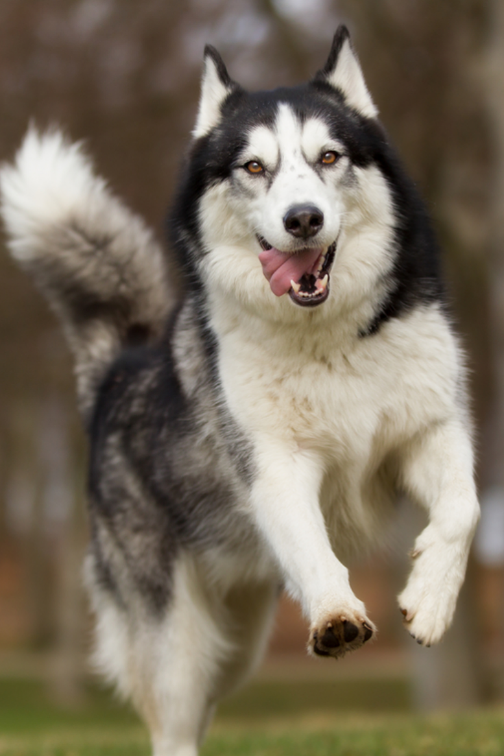 A Purebred Siberian Husky Dog Without