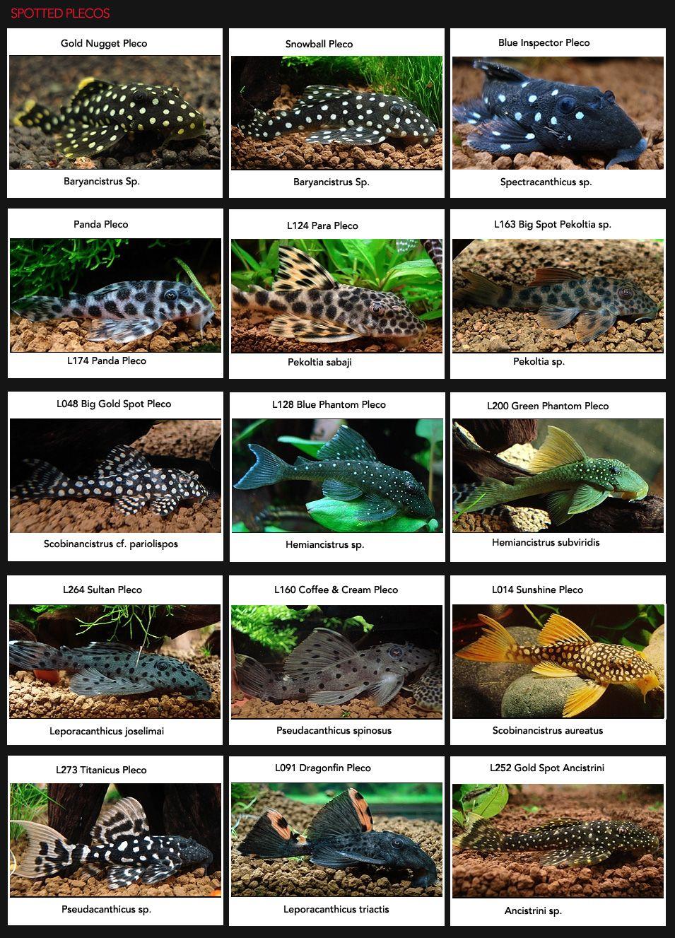 Spotted Plecos Plecos Galore Pets Pinterest Aquariums Fish And Fish Tanks