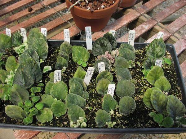 Reproducci n por gajos de hoja huerta for Planta ornamental que se reproduzca por esquejes