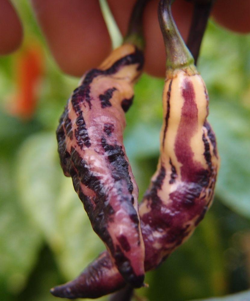 (10) Pink Tiger Pepper Seeds - VERY RARE - Beautiful Purple & Pink Hot Pepper!