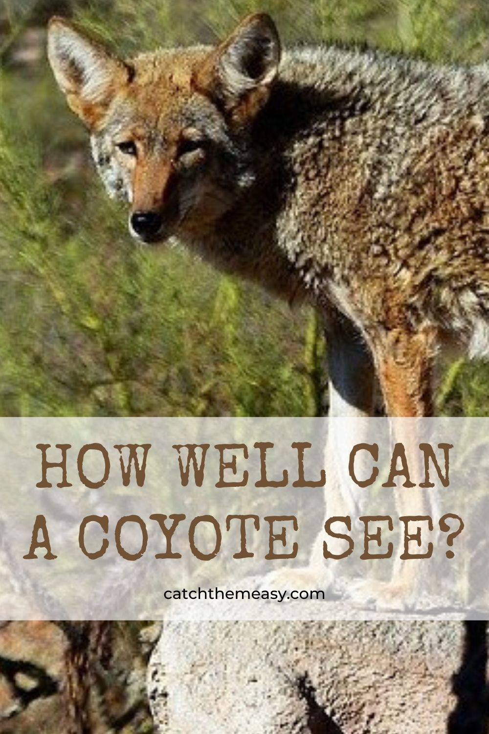 Pin on Coyote Hunting