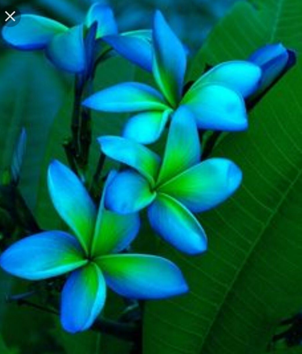 Pin by zachary varnes on flowers pinterest flowers and gardens blue and green plumeriasould i someday have a son to contrast the pink and orange plumeria tattoo i have for ave izmirmasajfo