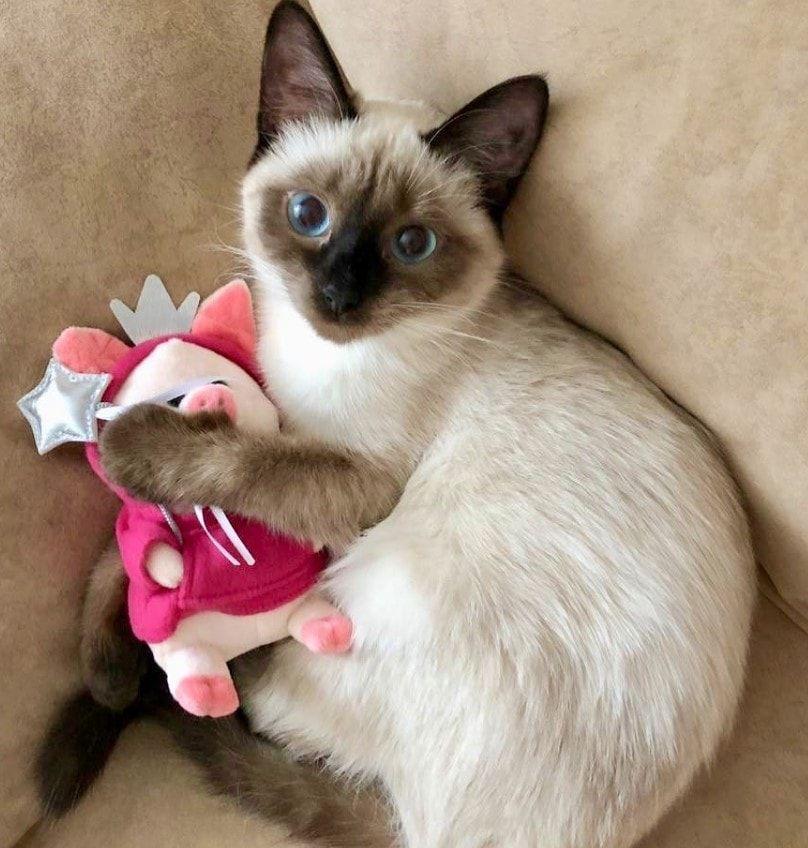 50 Female Siamese Cat Names Siamese Cats Cat Breeds Pretty Cats
