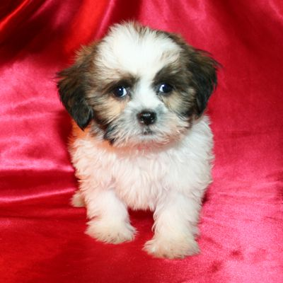 Shih Tzu Puppy For Sale In Cedar Park Tx Adn 43826 On