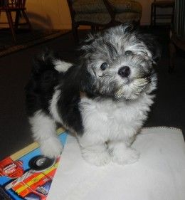 Dont forget a great Cuban name for you new Havanese puppy.