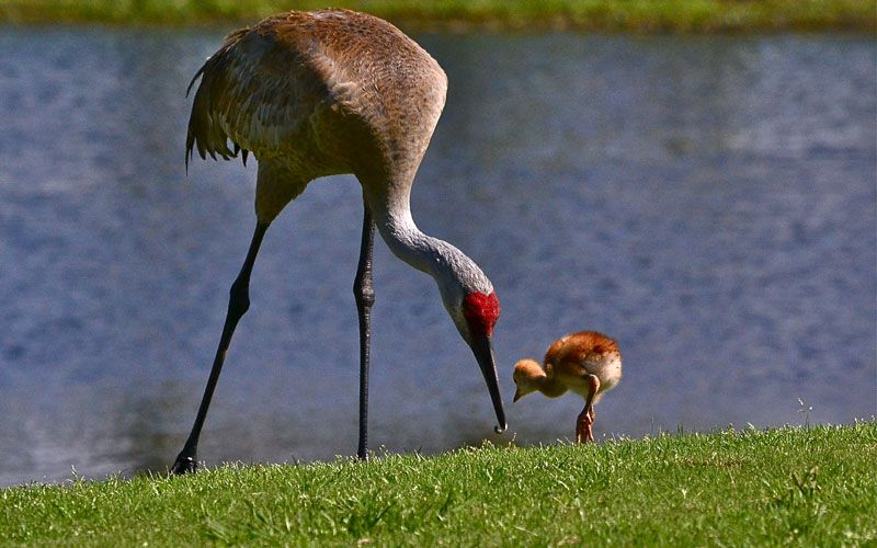 I watched these cranes with their babies a  LOT the two days we were in the RV park. Wish we had been there longer to see the babies grow!