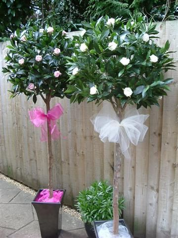 Decorated Bay Trees 5 6 Tree Wedding Flowers Church Decorations