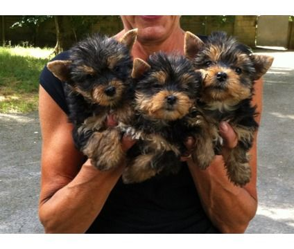Akc Reg Adorable Teacup Yorkie Puppies
