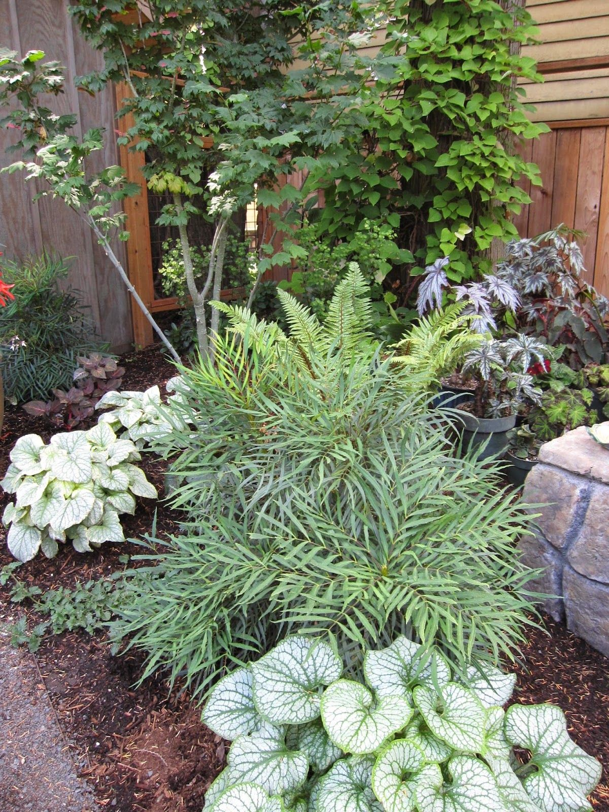 Mahonia 'Soft Caress'. Grows to 3 ft. tall and 3-4 ft ...