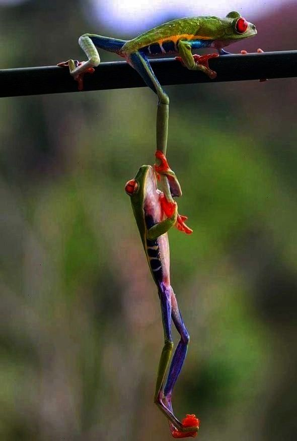 frogs  Red eyed tree frog  Animals beautiful  Cute frogs  Tree frogs  Give Frog Funny frogs Red eyed tree frog Animals beautiful Cute frogs Tree frogs  Give us a legup Fr...