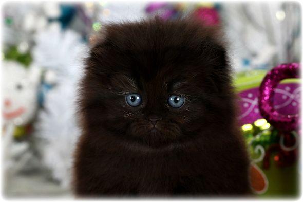 Black Floppy Eared Persian Kitten For Sale Persian