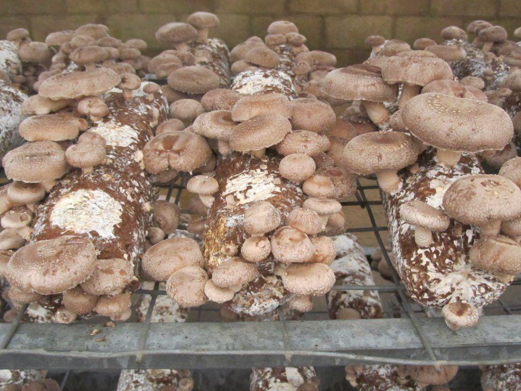 shiitake mushroom logs shiitake grow kits shiitake spawn