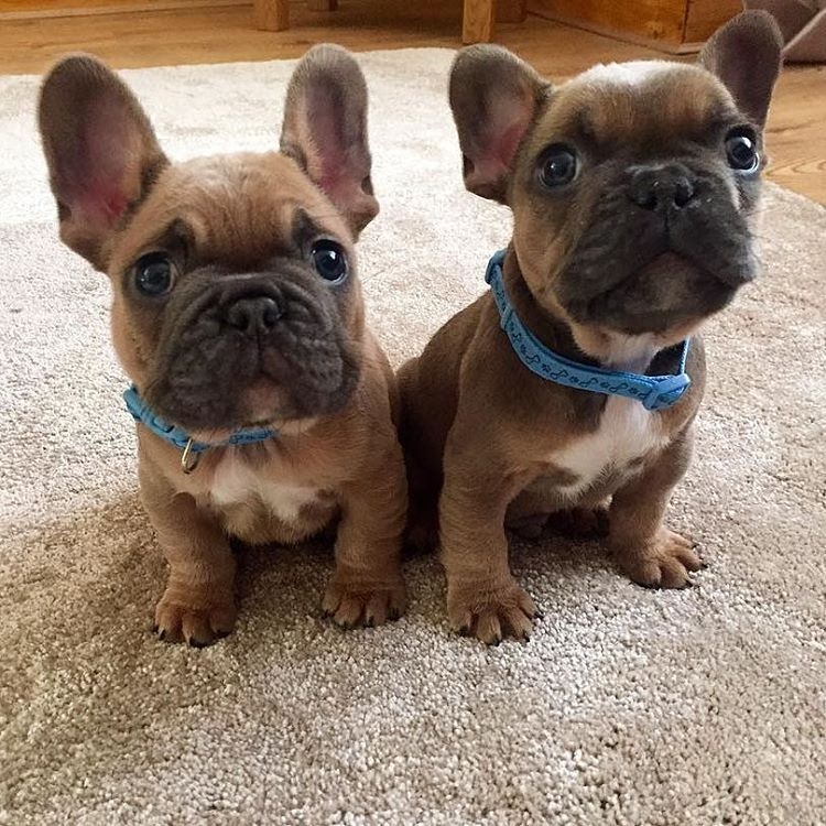 French Bulldog Puppies Meatball Pinte