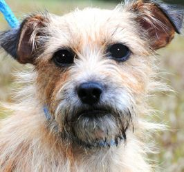 Miss Ally Adorable Scruffy Little Girl Awwww Is An Adoptable