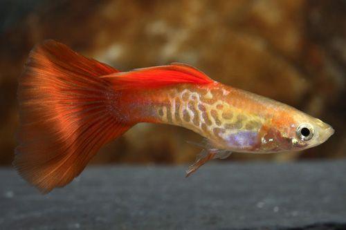 Blonde Cobra Guppy Male Med Poecilia Reticulata Guppy Aquarium Fish Betta Aquarium