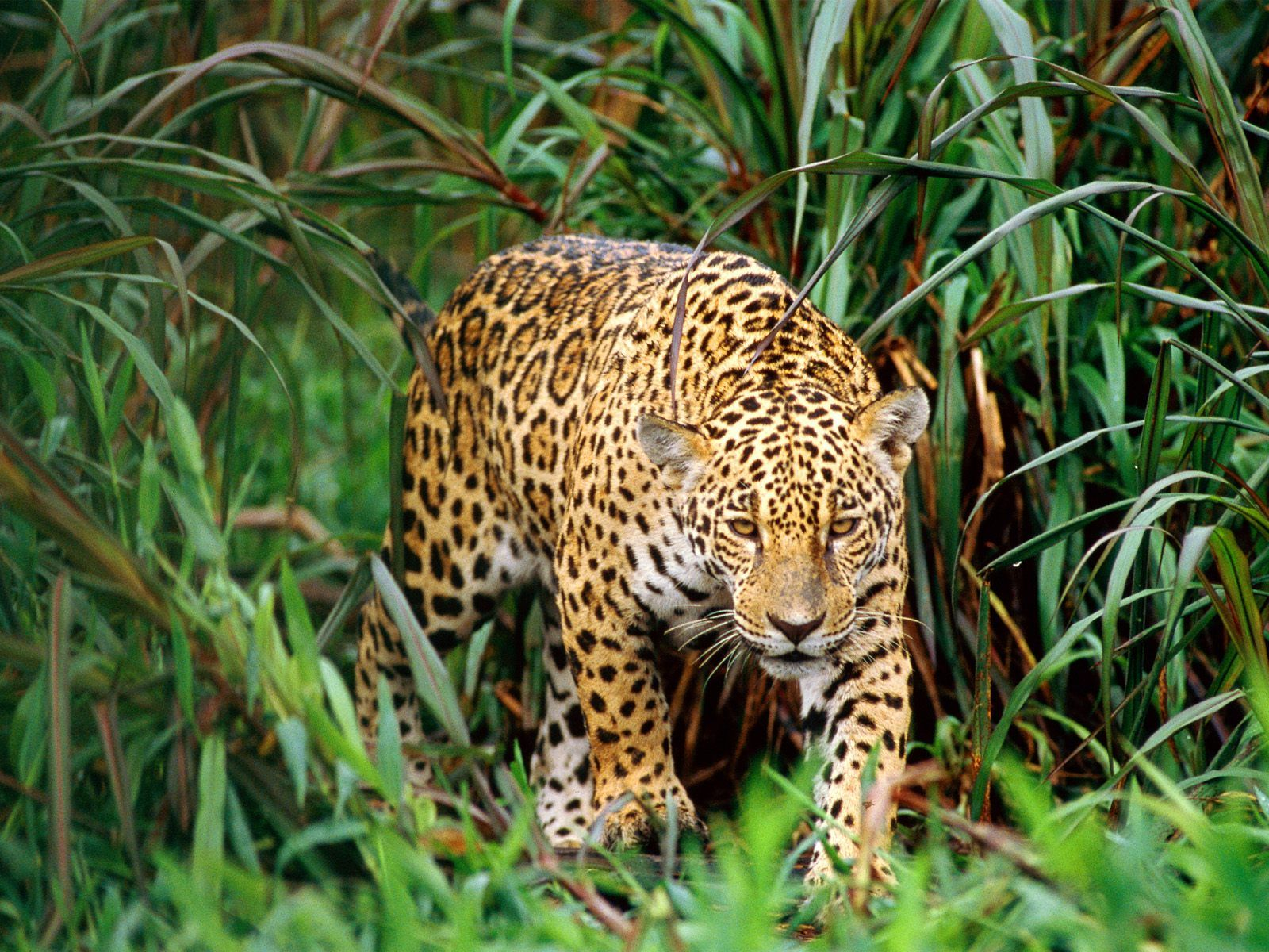 This Wild Cat Is In Danger Due To The Rapid Rate Of Rainforest Clearing Every Year Tracts Of Land The Size Of Great Rainforest Animals Big Animals Wild Cats