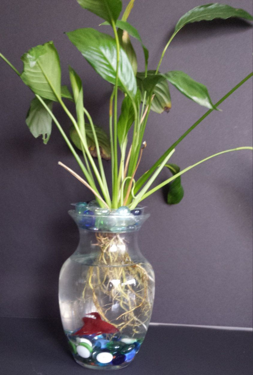 Beta fish tank with live peace lily symbiotic kit by for Peace lily betta fish