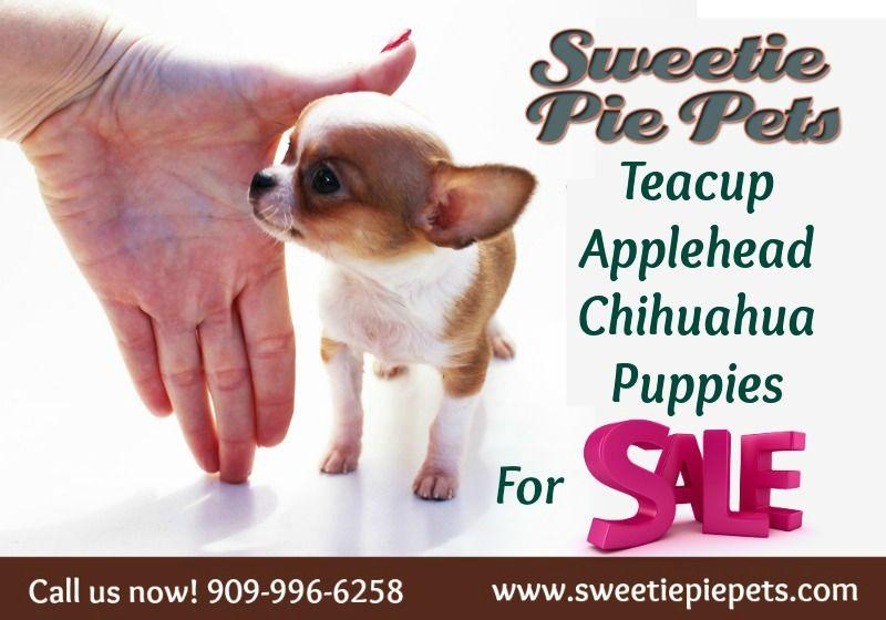White Chihuahua Puppies For Sale Chihuahua Puppies Chihuahua