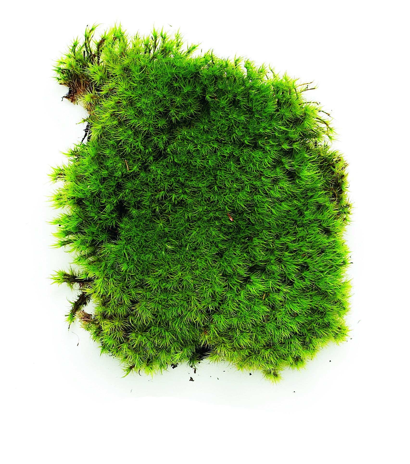 Rock Cap Moss (Dicranum) Will Prosper In Deep Shade