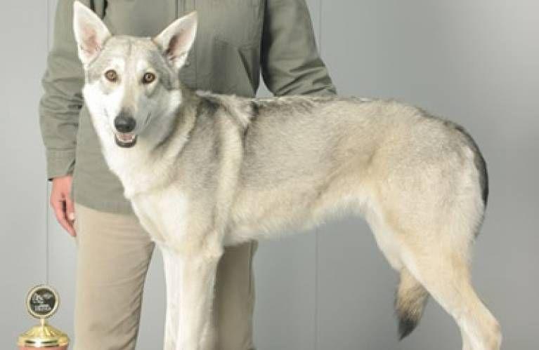 Welpen - Verband für das Deutsche Hundewesen (VDH)