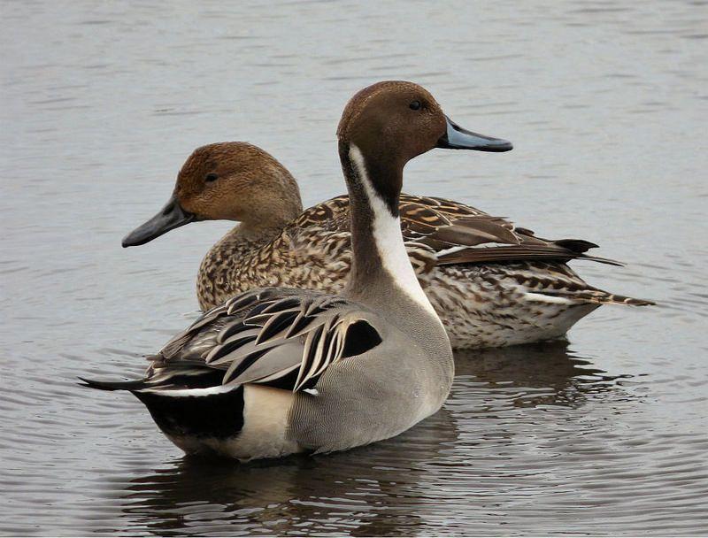 Pintail Ducks