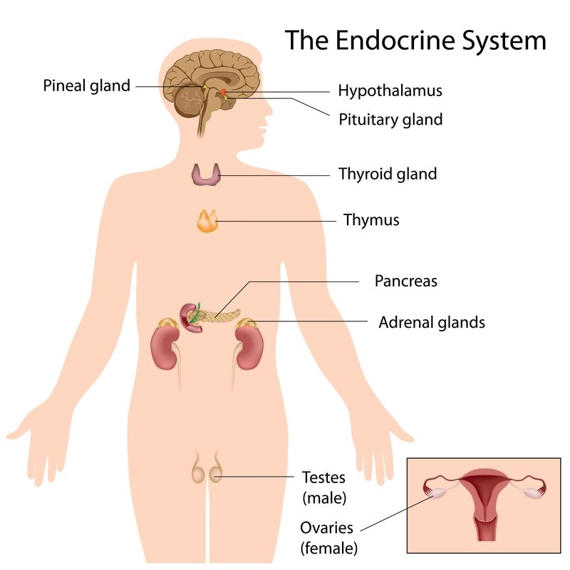Photo Of The Endocrine System Adrenal Gland Thyroid Gland Thymus