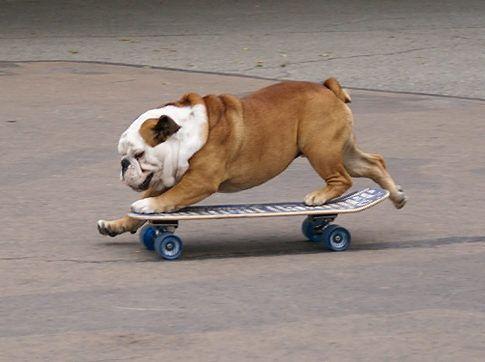Skateboarding Bulldogs Hond Kat Engelse Bulldogs Engelse Bulldog