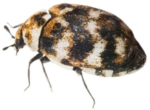 Carpet Beetles Prevention And Extermination Services Beetle Pest Control Services Prevention