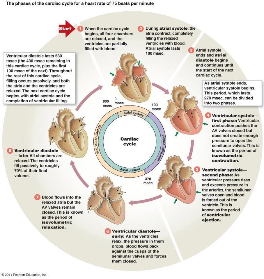 cardiac cycle steps